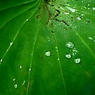 Water Drops on Lotus Leaf by geikomaiko
