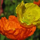 Orange and Yellow Poppies - Reflections of the Sun by Jacqueline  Murphy