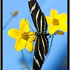 A zebra longwing butterfly, Heliconius charitonius, is sipping nectar from a flower by Eyal Nahmias