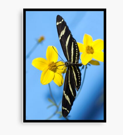 A zebra longwing butterfly, Heliconius charitonius, is sipping nectar from a flower Canvas Print