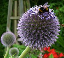Bee on Allium by lezvee