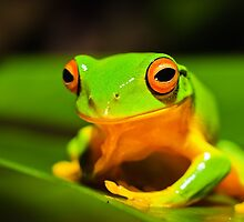 Orange thighes green tree frog by Johan Larson
