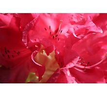 It's not pink garlic ! Photographic Print