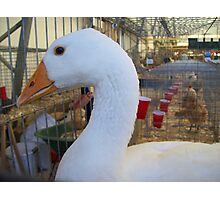 First Place Goose Photographic Print