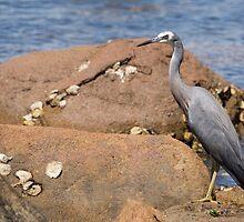 heron at the beach by Anne Scantlebury