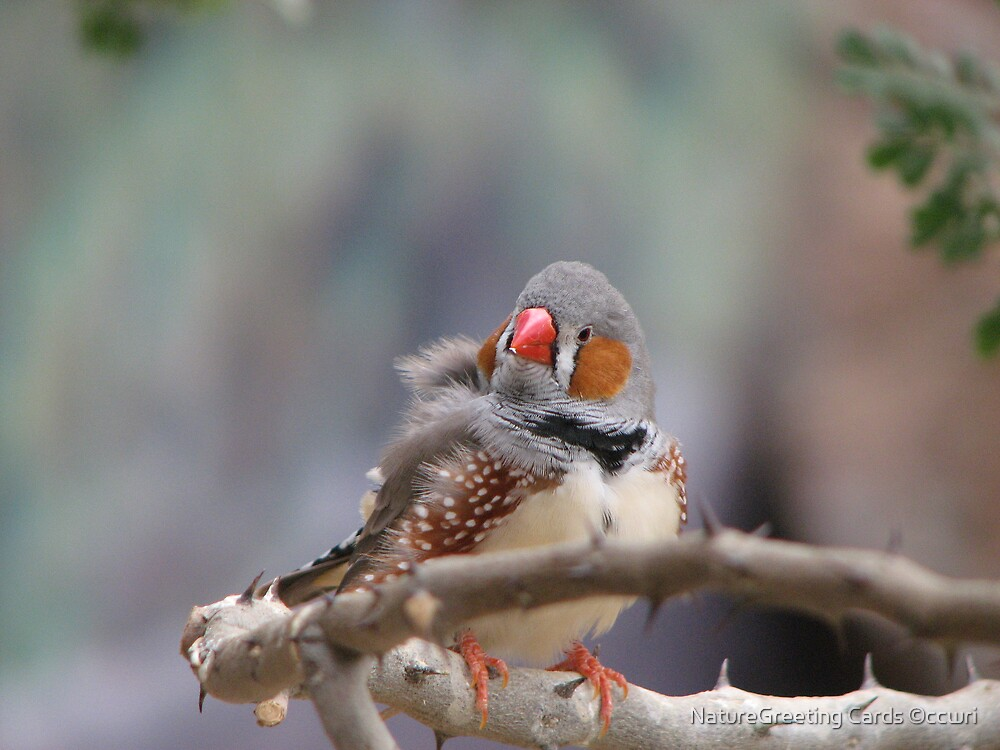 Zebra Finch by NatureGreeting Cards ©ccwri