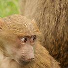 Young Baboon by EdgeOfReality