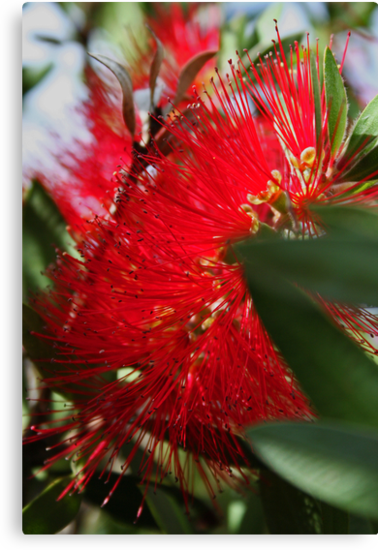Red Bottlebrush by Evita