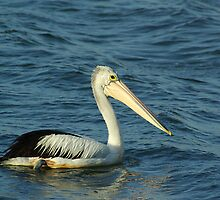 Australian Pelican by Biggzie
