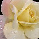 Raindrops on roses... by Nancy Polanski