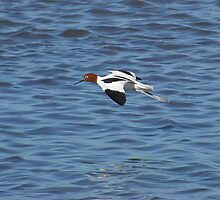 Red Necked Avocet by Biggzie