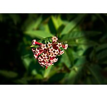 Hoya bloom - I think! Photographic Print