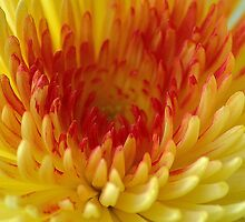 Chrysanthemum with orange heart by loiteke