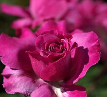 Pink Rose Of Summer by Joy Watson
