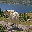 Mountain Goat at Hidden Lake by Sue Smith