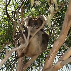 french island koala by nikki newman