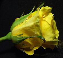 Youthful Yellow-Rose by SharonD