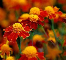 Orange  by DavidROMAN