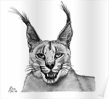 'Tom' -Caracal Poster