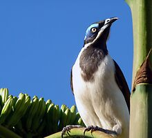 Blue faced Honeyeater by Magee