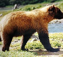 Grizzly Bear by Laurie Puglia