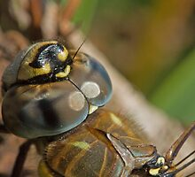 Migrant Hawker Closeup by kernuak