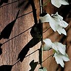 Ivy Shadows by Timothy Wilkendorf