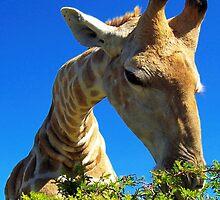 Areena4, giraffe by Teresa Schultz