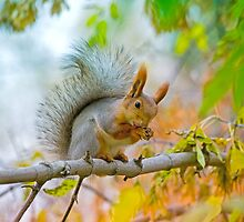 Red euroasian squirrel washes on the maple branch by Oksana Ariskina