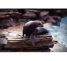 Seal on a rock Photographic Print