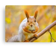 Red euroasian squirrel on the maple branch Canvas Print