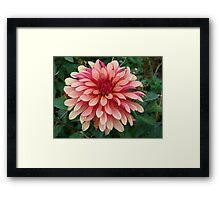 Two Tone Dahlia Framed Print