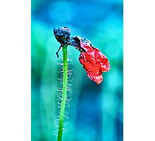 faded poppy flower hanging on the stalk Photographic Print