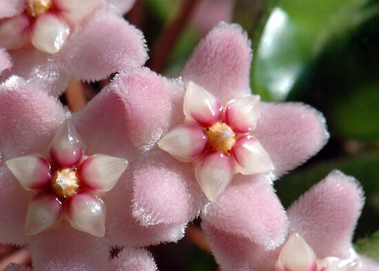Hoya Flower by DanielleMarie1