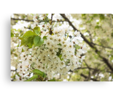 Dreamy White Blossoms - Impressions Of Spring Canvas Print