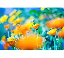 orange Marigold flowers  on blue background Photographic Print