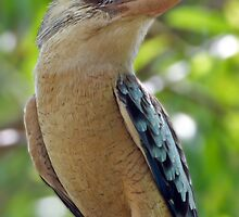 Blue-winged Kookaburra  by Robert Elliott