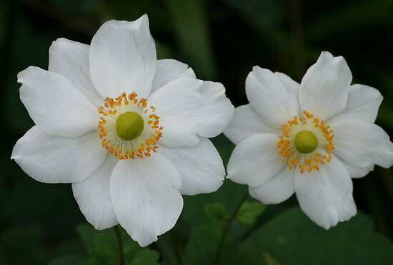 Japanese anemone by Michael Matthews