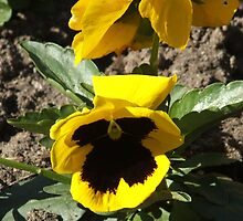 Pansy by Rebecca Simmons