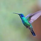 Green Violet-Ear Hummingbird - Costa Rica by Jim Cumming