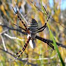 st andrews cross spider by shirleyscott