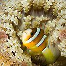 Anemone Fish II by LeanderWiseman