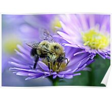 Bumble Bee - Fall Aster Poster