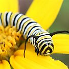 Daisy with a Monarch Caterpillar by Lori Deiter