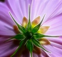 Cosmos Back Beauty by Deborah  Benoit
