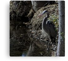Blue Heron looking for a snack Canvas Print