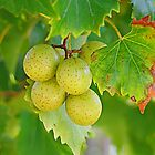 Muscadines on the Vine by wadesimages
