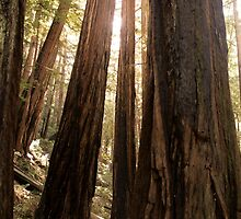 California Redwood Trees by victoria-m3cco