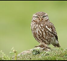 Little Owl by quebe150