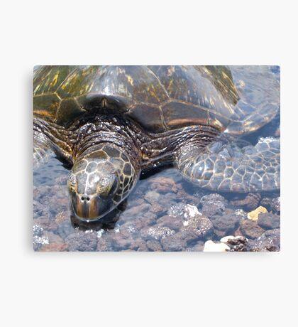 Sea Turtle on the Big Island  Canvas Print